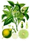 Bergamot Essential Oil  (EO1)