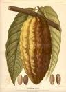 Cacao Essential Oil (EO34)