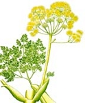Galbanum Essential Oil (EO43)