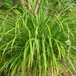 Gingergrass Essential Oil (EO44)