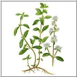 Marjoram Essential Oil (EO48)