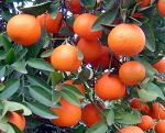 Red Mandarin Essential Oil (EO59)