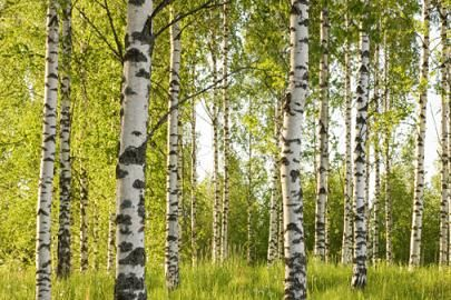 sweet birch essential oil eo51