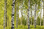 Sweet Birch Essential Oil (EO51)