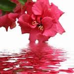 166 Hibiscus Fragrance (no DPG, no phthalates and no alcohol)