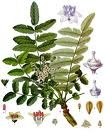 Frankincense Essential Oil (EO5)