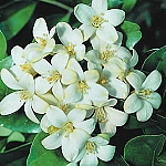 Jasmine Fragrance (100% natural fragrance) - 003