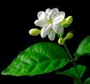 Jasmine Essential Oil (absolute) (EO9)