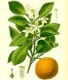 Neroli Essential Oil (absolute) (EO16)