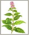 Peppermint Essential Oil (EO19)