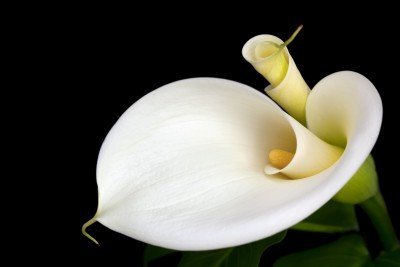155 Calla Lily Fragrance (16% natural, alcohol free)