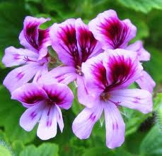 152 Lavender Rose Geranium Fragrance